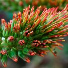 Acrocarpus Fraxinifolius Tree 100 Seeds, Pink Cedar