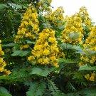 Senna Siamea 20 Seeds, Cassia Kassod, Thailand Shower Tree