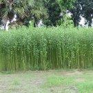 Corchorus Capsularis 20 Seeds, White Jute