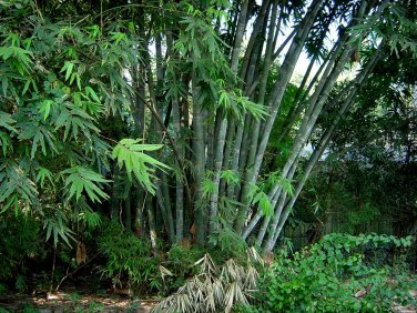 Dendrocalamus Strictus 10 Seeds, Male Bamboo, Solid Bamboo or Calcutta Bamboo