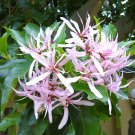 Calodendrum Capense 4 Seeds, African Cape Chestnut Tree