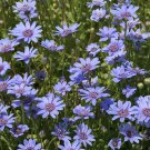 Felicia Heterophylla 25 Seeds, True Blue African Daisy