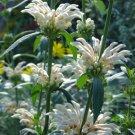 Leonotis Leonurus Alba 10 Seeds, Rare White Lion's Tail / Ear Or Wild Dagga