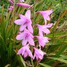 Watsonia Borbonica (pink) 15 Seeds, Cape Bugle Lily