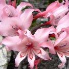 Gladiolus Carneus 8 Seeds, Painted Lady