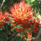 Combretum Microphyllum, Burning Bush or The Flame Creeper - 5 Seeds