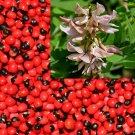 Abrus Precatorius Vine 20 Seeds, Craft Jewelry Beads, Rosary Pea
