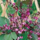 Lablab Purpureus 10 Seeds, Hyacinth Bean, Dolichos Vine