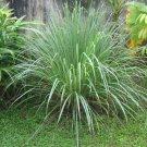 Cymbopogon Citratus Fragrant Lemon Grass 100+ Seeds, Herb Spice Edible Perennial