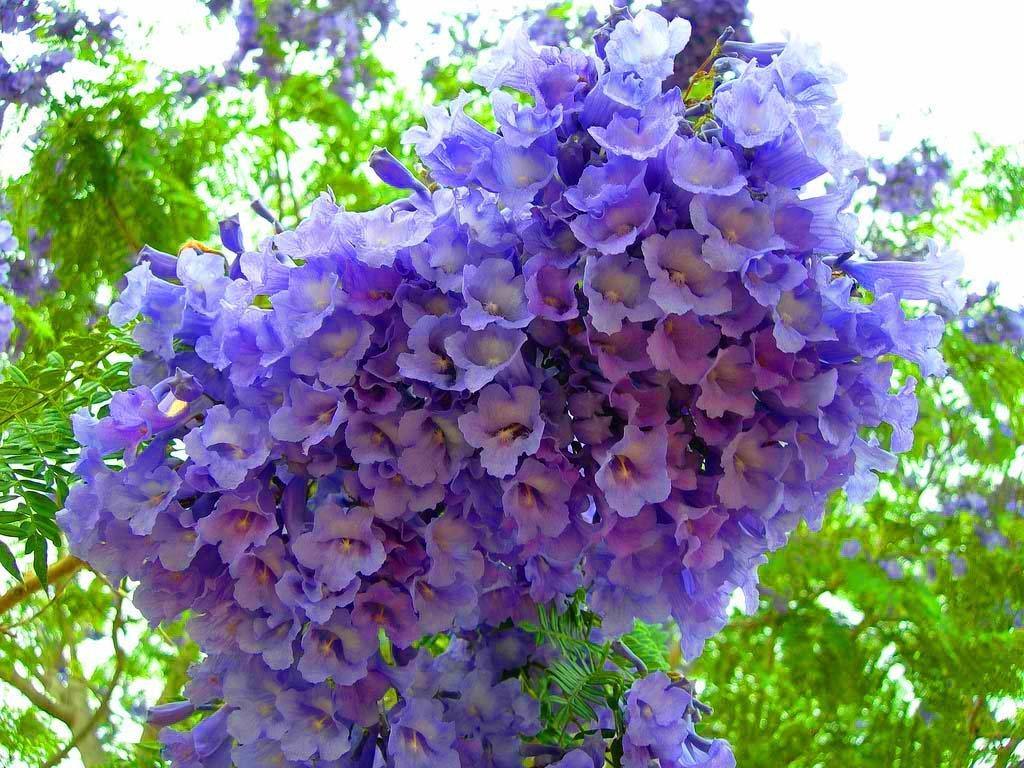 Jacaranda mimosifolia fern tree 250 seeds fragrant blue for Planta ornamental jacaranda