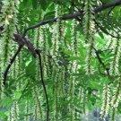 Pterocarya Stenoptera Tree 15 Seeds, Chinese Wingnut