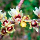 Chimonanthus Praecox Shrub 50 Seeds, Fragrant Wintersweet, Hardy Japanese Allspice