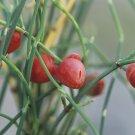 Ephedra Sinica 500 Seeds, Ma-Huang Medicinal Mormon Tea, Hardy Herb