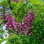 Millettia Pinnata Tree, Flowering Pongamia 50 Seeds, Biofuel Crop Of The Future!