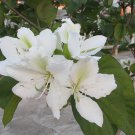 Bauhinia Alba 7 Seeds, Fragrant White Orchid Tree Camel's Foot