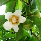 Dillenia Indica 15 Seeds, Elephant Apple Edible Fruit Shrub Tree Chulta