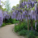 Wisteria Sinensis 6 Seeds, Fragrant Hardy Chinese Climber Vine Bonsai Tree