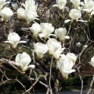Magnolia Denudata 10 Seeds, Fragrant Yulan Jade Lily Tree Shrub