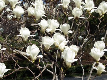 Magnolia Denudata 10 Seeds, Fragrant Yulan Jade Lily Tree Shrub