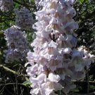 Paulownia Fortunei 200+ Seeds, Edible Flowering Princess Tree, Fast Growing Fodder, Dragon Tree