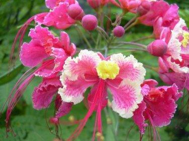Caesalpinia Pulcherrima Pink 7 Seeds, Shrub / Tree, Great For Smaller Yards