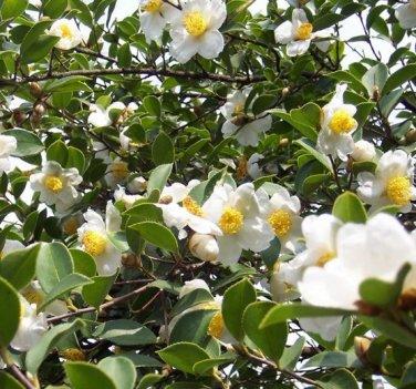 Camellia Oleifera 5 Seeds, Fragrant Edible Tea Oil Shrub Or Small Tree