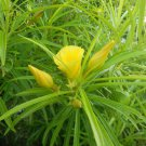 Thevetia Peruviana, Neriifolia, Cascabela 4 Seeds,  Fragrant Yellow Oleander, Shrub Or Small Tree