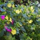 4 0'Clocks (Mirabilis Jalapa) Flower Garden Seeds
