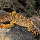 Reptiles Of North America