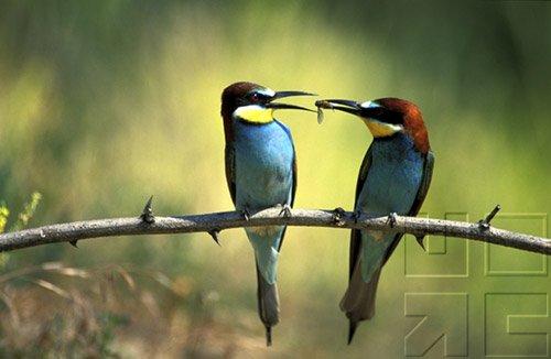 Bird Behavior - Courtship & Mating