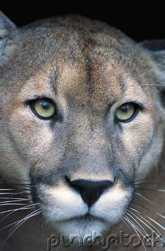The Florida Panther - Life  & Death Of A Vanishing Carnivore