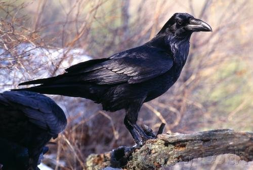 Curriculum Design & Instruction To Teach About Crows