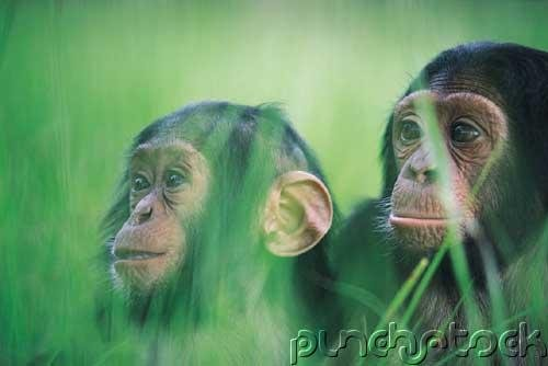 Chimpanzees - Social Climbers Of The Forest