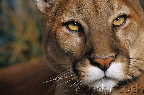 Cougars - Endangered Animals &  Habitats