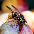 The Wasps - The Remarkable World Of The Wasps