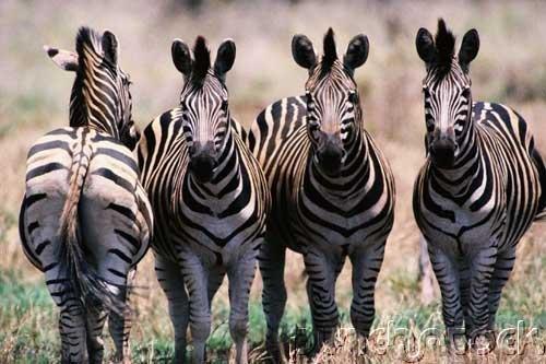 Zebras - A Natural History of Zebras