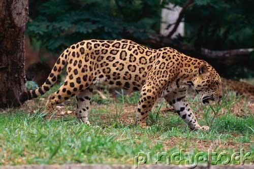 Jaguars - The Untamed World