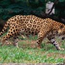 Jaguars - The Untamed World