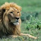 Lions - The Nature Of Lions - Social Cat Of The Savannas