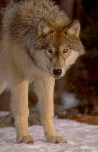 Wolves Of The World - Natural History & Conservation