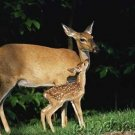 The Deer of North America - Part III