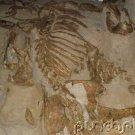 Prehistoric Life - Fossil Mammals