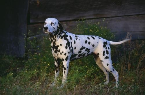 The Breeds - Histories & Officail Standards - The Groups - Group VI - Non-Sporting Breeds