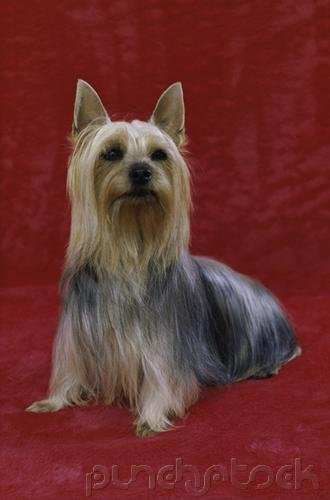 The Breeds - Histories & Official Standards - The Groups - Group V - Toy Breeds