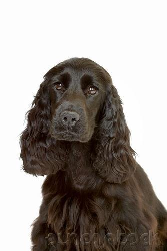 The Breeds - Histories & Official Standards - The Groups - Group I - Sporting Breeds