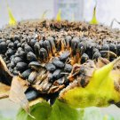 Natural SunFlower Seeds-Whole Black-Edible 1 Kg Mana Velugu