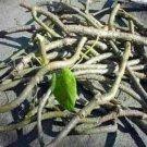 Giloye/Giloy Plant Fresh Stems 100gm pack
