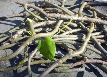 Plantsab Neem Giloy, Giloy Plant, Giloy Stems Seed  (15 per packet)