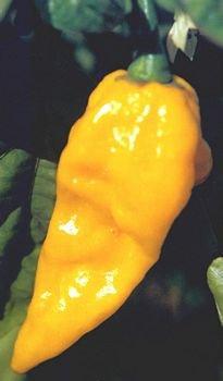 Fatalii hot pepper seeds