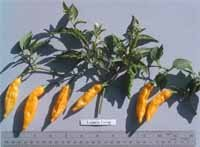 Lemon Drop hot pepper seeds